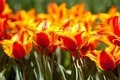 Yellow with red tulips - PhotoDune Item for Sale