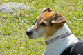 Jack Russell Terrier 2 - PhotoDune Item for Sale