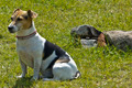 Jack Russell Terrier 1 - PhotoDune Item for Sale