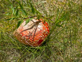 Red fly agaric 1 - PhotoDune Item for Sale