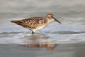 Least Sandpiper - PhotoDune Item for Sale