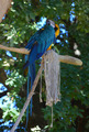 Blue Macaw sitting on branch - PhotoDune Item for Sale