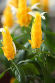 Pachystachys lutea - PhotoDune Item for Sale