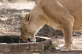 Lioness drinking water - PhotoDune Item for Sale