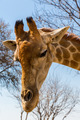 Portrait of a giraffe - PhotoDune Item for Sale