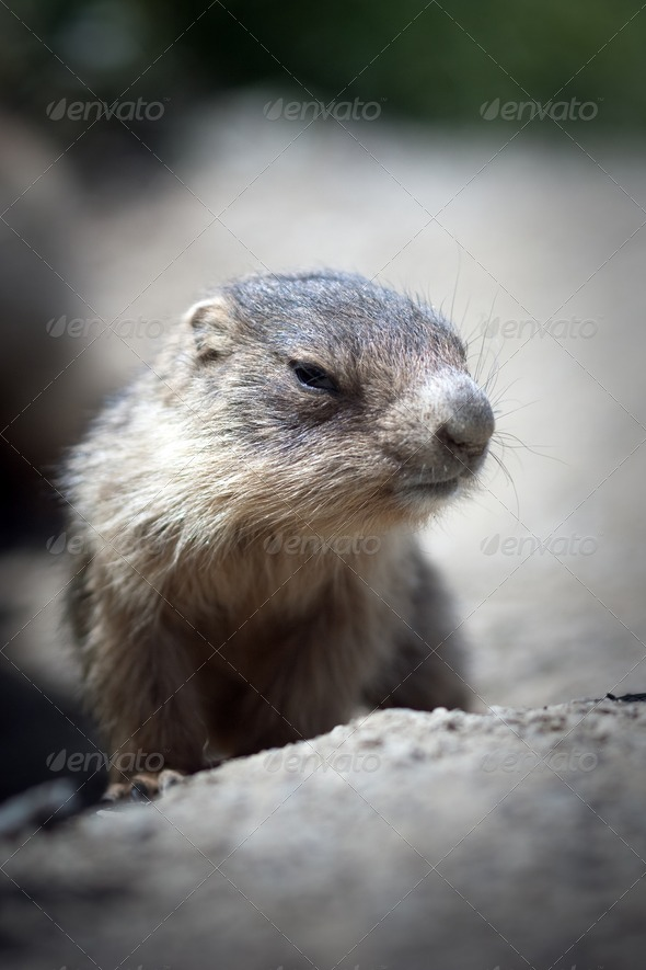 baby marmot close-up - Stock Photo - Images