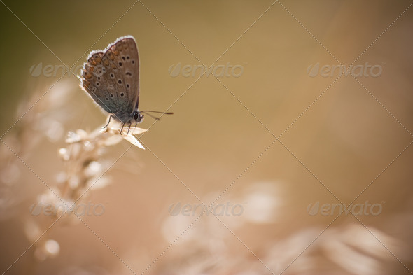 Polyommatus icarus - Stock Photo - Images