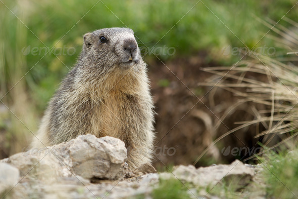 marmot in the alps - Stock Photo - Images