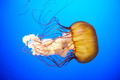 Orange jellyfish (Chrysaora fuscescens) - PhotoDune Item for Sale