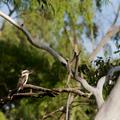 Kookaburra - PhotoDune Item for Sale