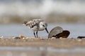 Sanderling - PhotoDune Item for Sale