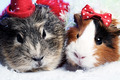 Abstract xmas funny backgrounds with pair of guinea pigs - PhotoDune Item for Sale