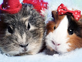 Abstract funny backgrounds with pair of guinea pigs - PhotoDune Item for Sale