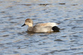 Gadwall - PhotoDune Item for Sale