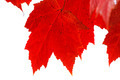 Red Leaves Closeup and Isolated - PhotoDune Item for Sale