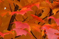Fiery Autumn Closeup - PhotoDune Item for Sale