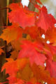 Red Maple Leaves Closeup - PhotoDune Item for Sale