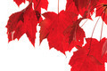 Red Maple Leaves Hanging Isolated - PhotoDune Item for Sale