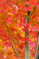 Maple Tree in Autumn Closeup - PhotoDune Item for Sale