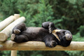 Sun bear, Helarctos malayanus - PhotoDune Item for Sale