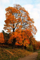 Bright Autumn tree with falling orange leaves - PhotoDune Item for Sale