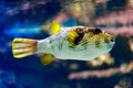 White-spotted puffer - PhotoDune Item for Sale