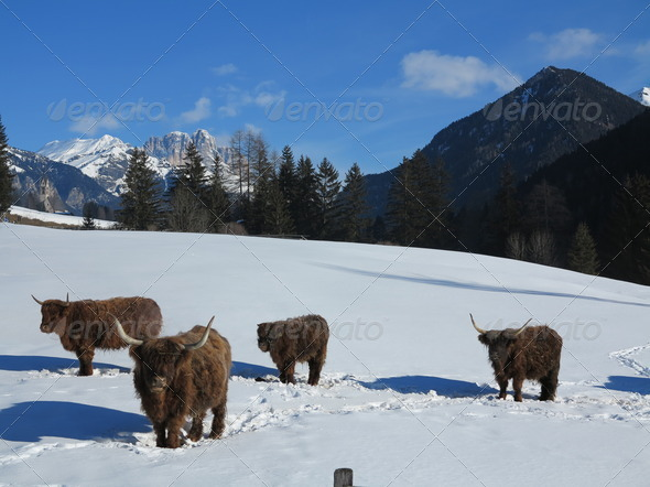 winter  cow - Stock Photo - Images