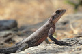 Red-headed Rock Agama - PhotoDune Item for Sale