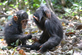Young chimpanzees playing - PhotoDune Item for Sale