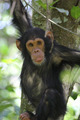Young chimpanzee on a tree - PhotoDune Item for Sale