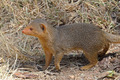 A common dwarf mongoose - PhotoDune Item for Sale