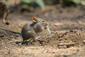 Field mouse eating a leaf - PhotoDune Item for Sale