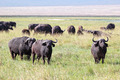 Herd of african buffalos - PhotoDune Item for Sale