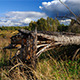 Fallen Pine Tree - VideoHive Item for Sale
