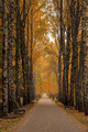 Yellow Birch alley overcast autumn day - PhotoDune Item for Sale