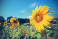 Vintage Sunflower against blue sky - PhotoDune Item for Sale