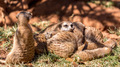 Meerkats - PhotoDune Item for Sale