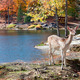Fallow Deer Standing by the Lake - PhotoDune Item for Sale