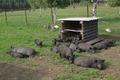 A group of Vietnamese black small pigs play and sleep in the gra - PhotoDune Item for Sale