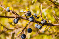Twig with Fruit Prunus Spinosa L. (Blackthorn, Sloe) - PhotoDune Item for Sale