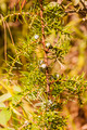 Twig and Fruit Common Juniper (Juniperus Communis L.) - PhotoDune Item for Sale