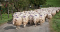 A flock of sheep - PhotoDune Item for Sale