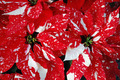 Red and white poinsettia flowers - PhotoDune Item for Sale
