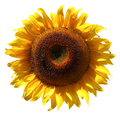 Sunflower isolated on a white background - PhotoDune Item for Sale