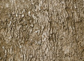 Bark of old deciduous tree - natural background - PhotoDune Item for Sale