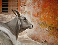 Cow in a indian city - PhotoDune Item for Sale