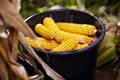 Bucket full of corn cobs - PhotoDune Item for Sale
