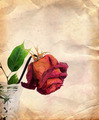 Vintage Background with Dried Rose - PhotoDune Item for Sale