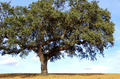 Oak tree, Alentejo region, Portugal - PhotoDune Item for Sale