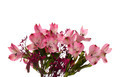 Alstroemeria flowers - PhotoDune Item for Sale